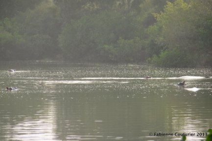 Où sont les hippopotames?