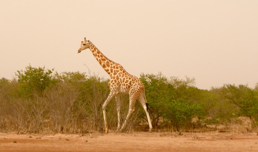 Les girafes (1/6)