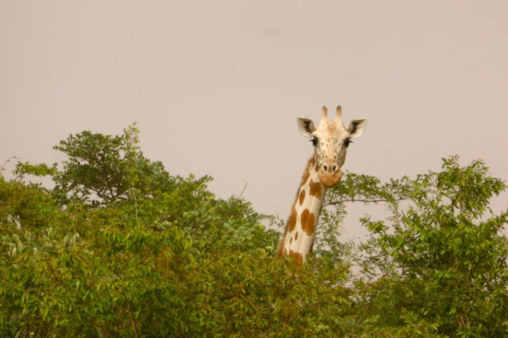 Les girafes (2/6)