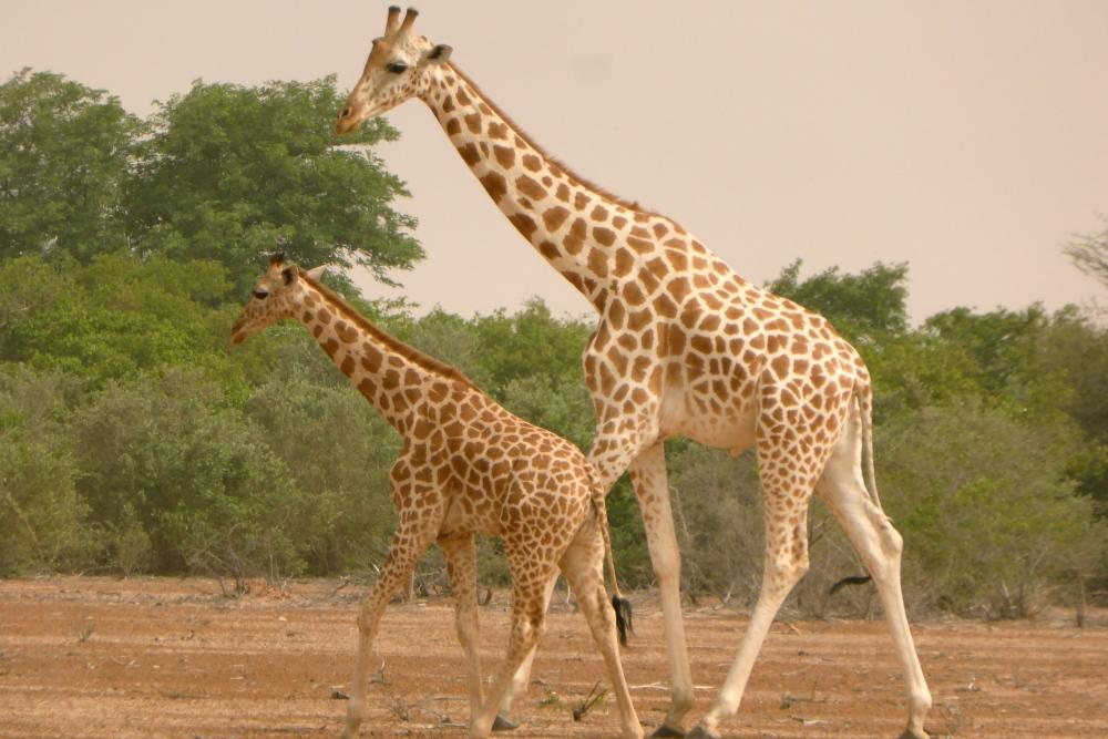 Les girafes (4/6)