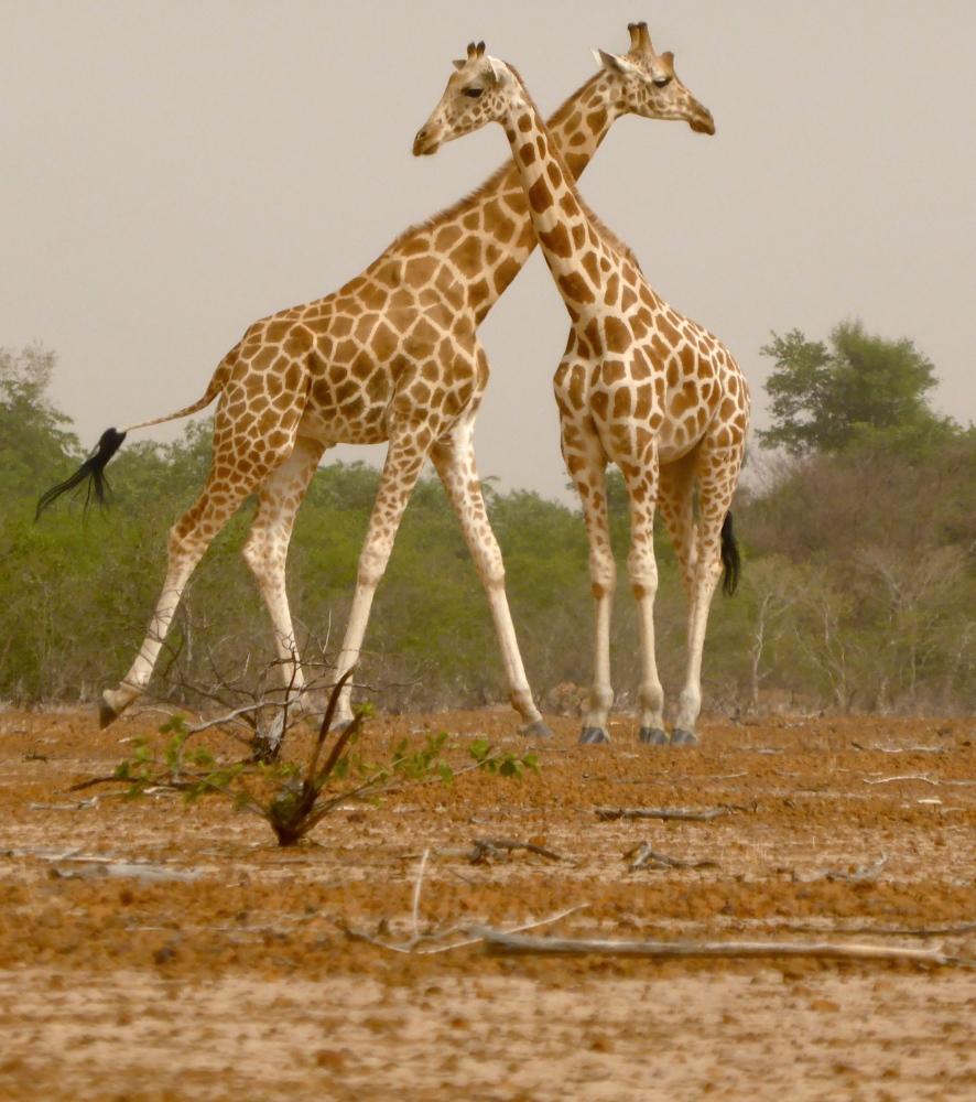 Les girafes (5/6)