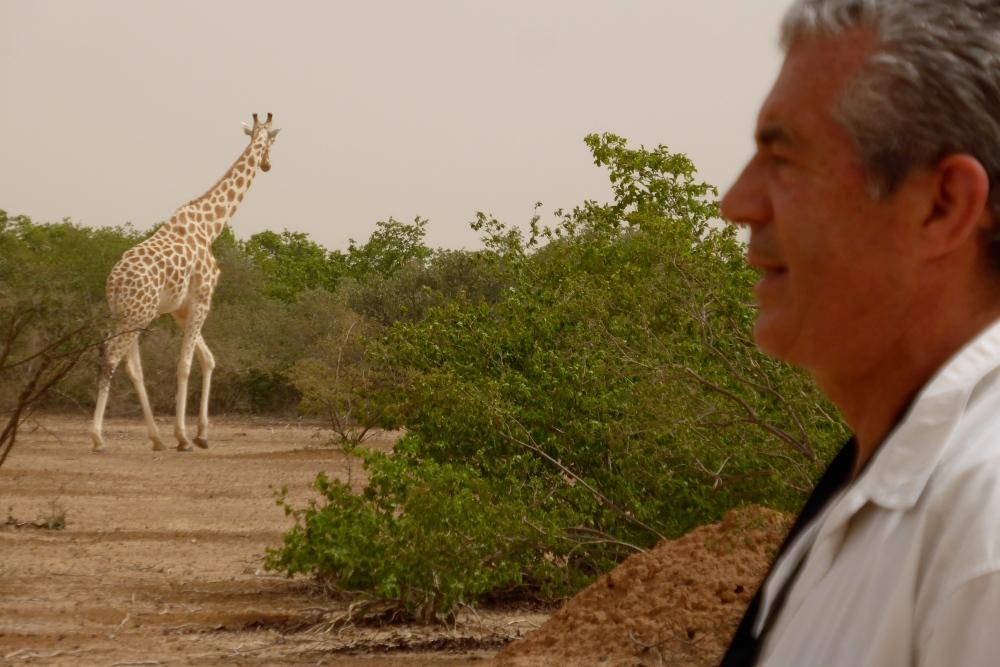 Les girafes (6/6)