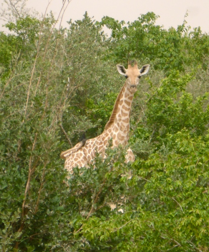 Girafeau